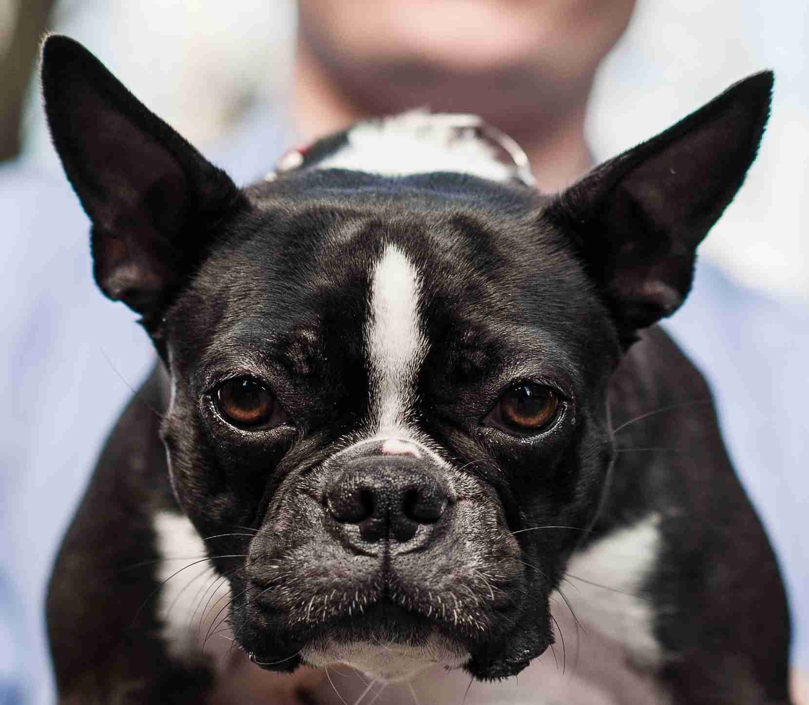 Mia, a Boston Terrier